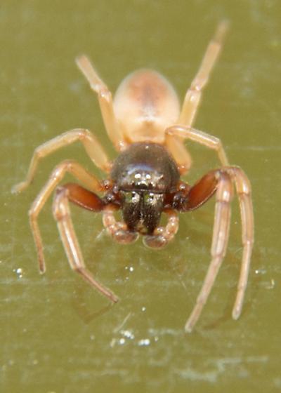 Ground Spider? - Trachelas