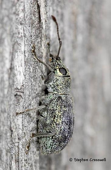 Greenish Hairy Weevil - Cyrtepistomus castaneus