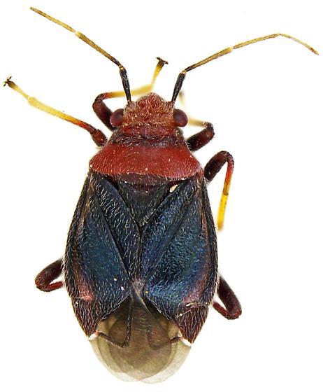 Male, Yucca Plant Bug? - Halticotoma valida - male