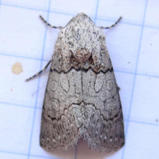 Scribbled Sallow Moth,  Sympistis perscripta Hodges # 10154? - Sympistis sorapis