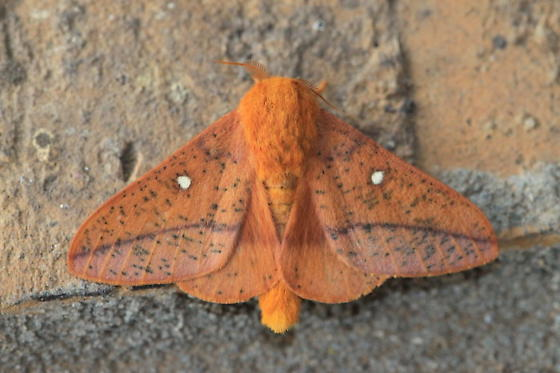 Rusty colored moth with two white spots - Anisota stigma - male