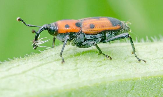 Red Weevil with Black Spots - Cocklebur Weevil? - Rhodobaenus