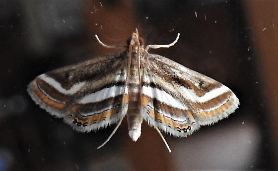 Parapoynx seminealis - Floating-heart Waterlily Moth - Hodges#4763 - Parapoynx seminealis