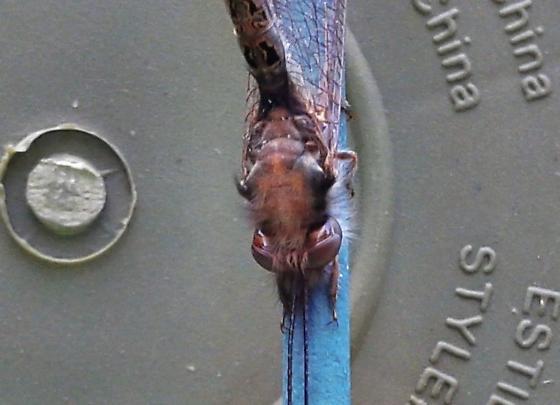Ascalaphidae - Ululodes macleayanus