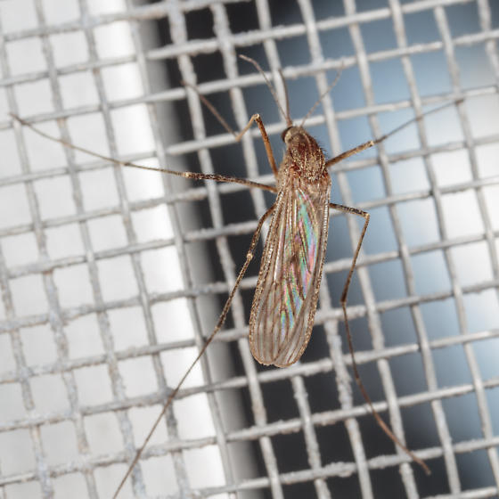 Large Mosquito - Culiseta inornata - female