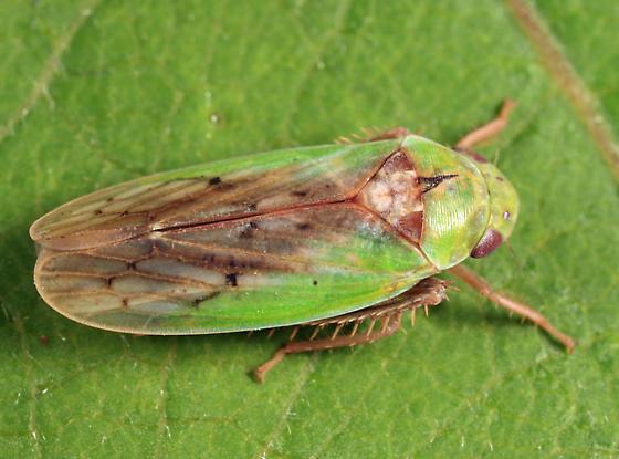 leafhopper - Ponana pectoralis