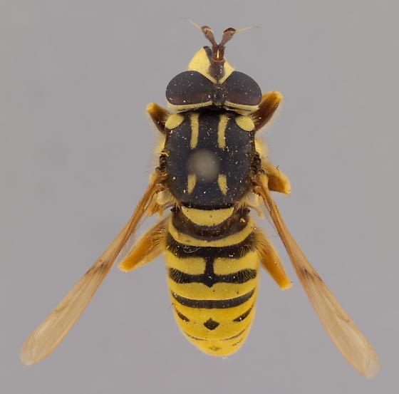 Sphecomyia brevicornis - male