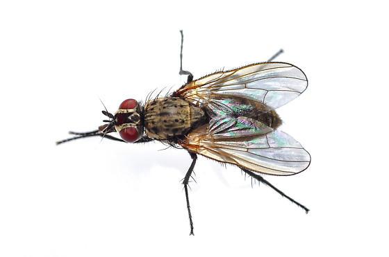 Cabbage Root Fly - Delia radicum - female