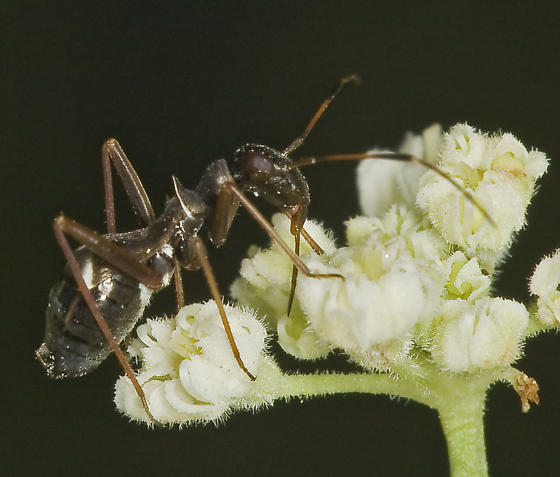 Ant mimic heteropteran from montane central Sierra - Dacerla mediospinosa