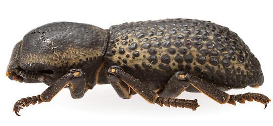 Tenebrionoidea - Zopherus tristis