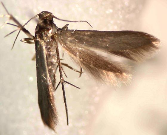 Unknown - Schreckensteinia erythriella