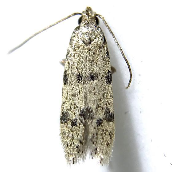 Autostichidae n. sp.