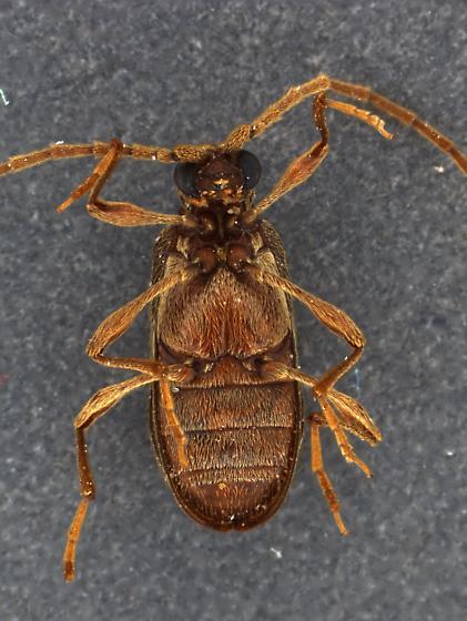 Meat Beetle 1 - Ptinus fur