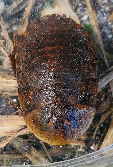 Blaberus sp. in Miami, FL - Blaberus