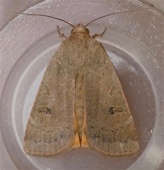 Lesser Yellow Underwing Moth - Noctua comes