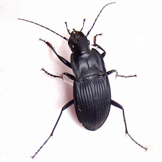 Carabidae - Dicaelus ambiguus