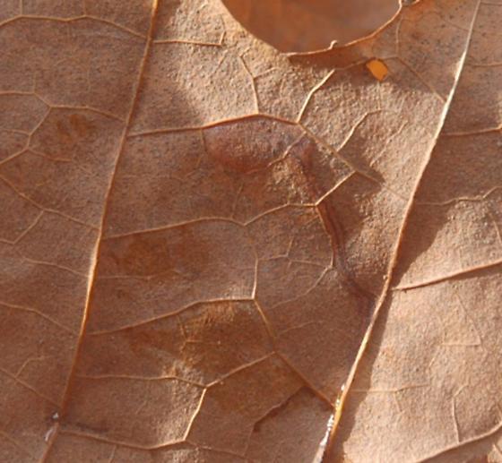 Glennstone leaf miner on Platanus occidentalus D222 Stigmella maybe 2015 3 - Ectoedemia clemensella