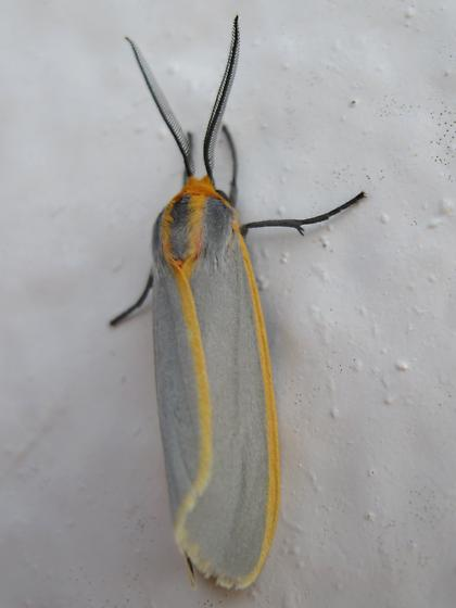 gray and orange moth - Pygarctia abdominalis