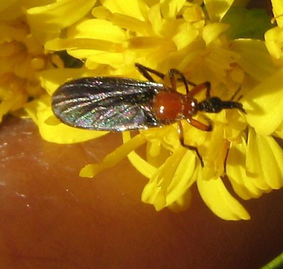 March fly on goldenrod - Dilophus - female