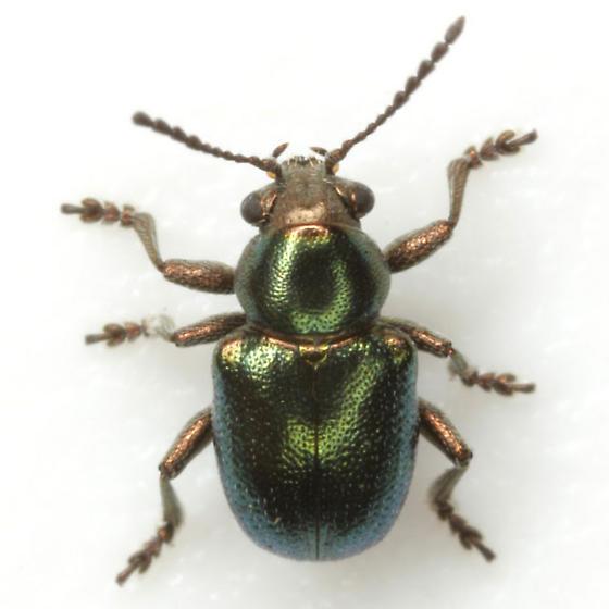 Graphops simplex LeConte (green form) - Graphops simplex