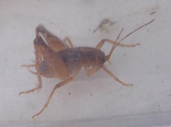 Ceuthophilus - male
