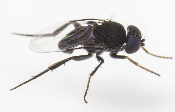 Fly - Phora - male
