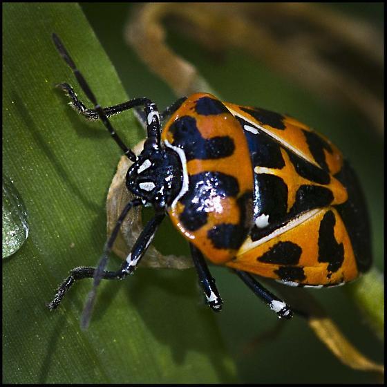 Q Beetle type bug - Murgantia histrionica