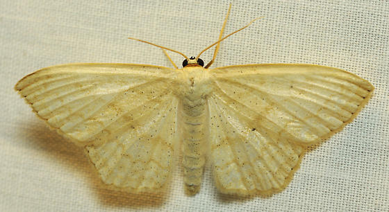 Tan creased moth - Scopula