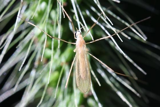 Limoniid Crane Fly?