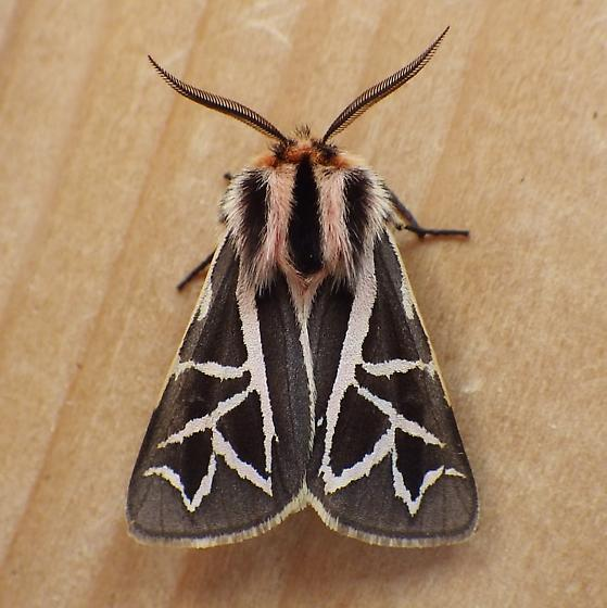 Erebidae: Grammia williamsii? - Apantesis williamsii