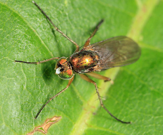 Dolichopodid - Dolichopus albicoxa