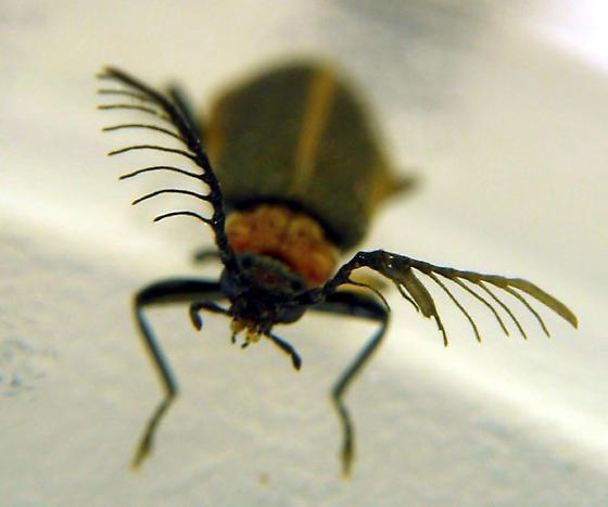 Adult pyrochroid! - Schizotus cervicalis - male