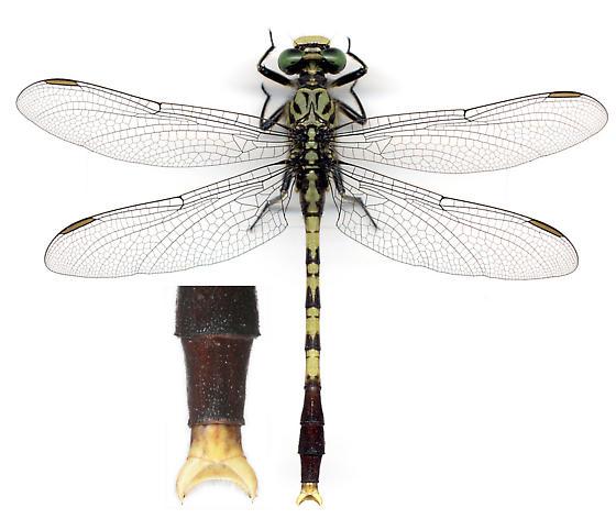 BG944 176a 4 - Arigomphus maxwelli - male