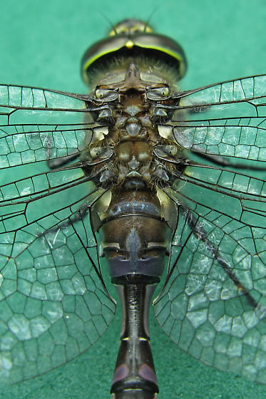 Dragonfly - Aeshna constricta