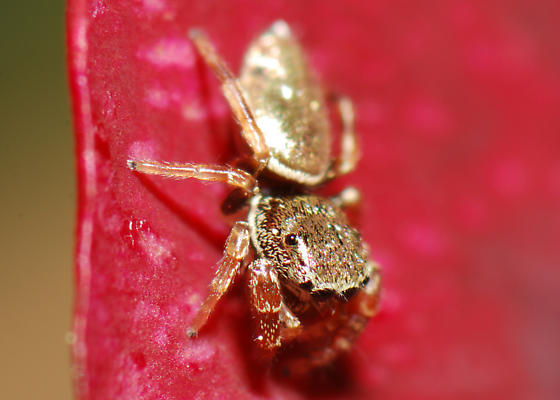 Iridescent Gold Jumping Spider - Sassacus vitis