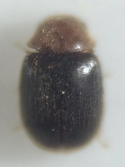 Beetle - Lasioderma falli