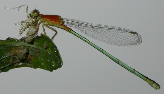 Ischnura ramburii - female