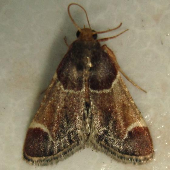 Meal Moth - Hodges #5510 (Pyralis farinalis) - Pyralis farinalis