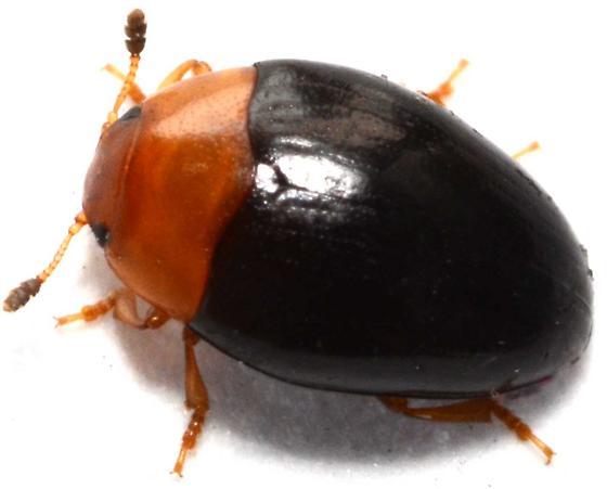 Beetle reared from rotting Armillaria.  Triplax? - Tritoma atriventris