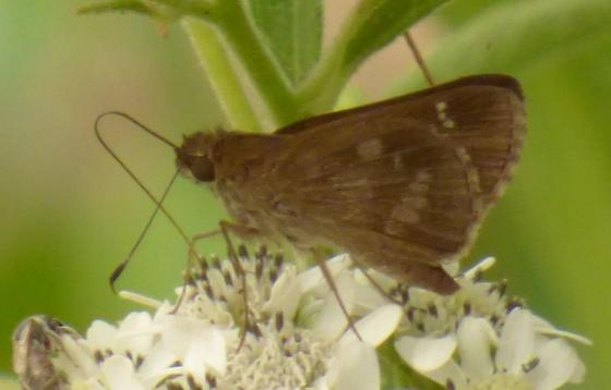 UnknownButterfly63 - Cymaenes trebius