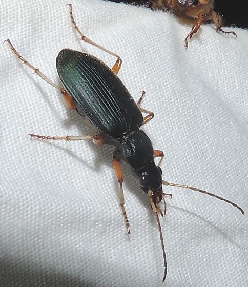 unkn beetle - Chlaenius leucoscelis - female
