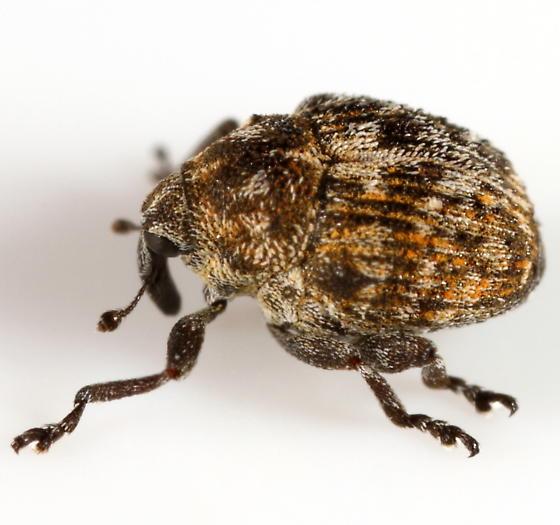 Weevil - Auleutes asper