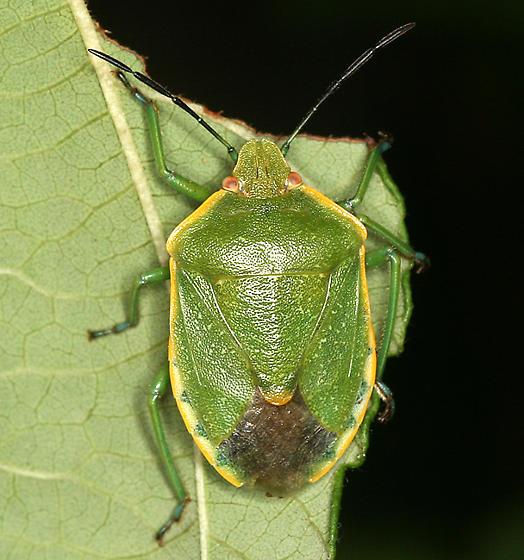 green stink bug - Chlorochroa ligata