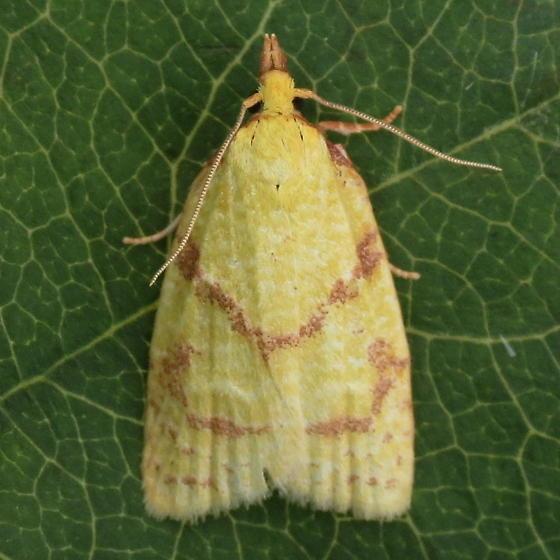 A Tortricid Moth - Cenopis pettitana