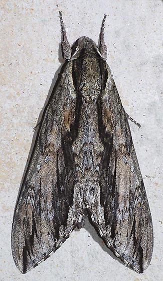 big moth - Lintneria istar