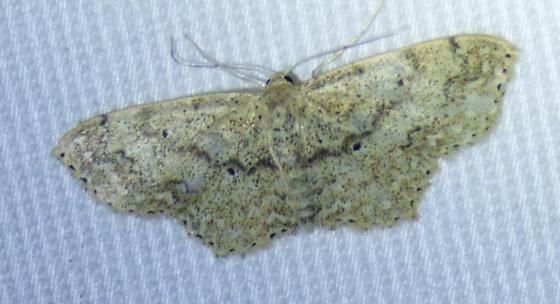 unknown moth - Scopula compensata
