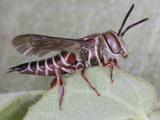 Coelioxys (Leuraspidia) azteca Cuckoo leafcutter bee - Coelioxys azteca - female