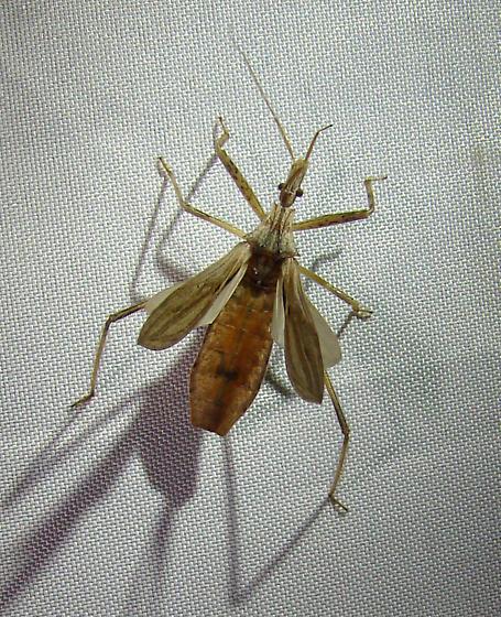 possibly Stenopoda - Stenopoda spinulosa
