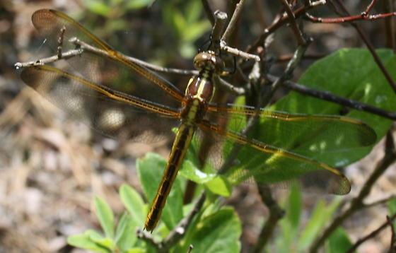 Dragonfly - Libellula auripennis - female