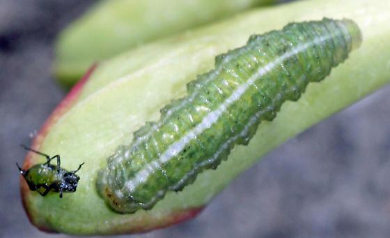 syrphid larvae